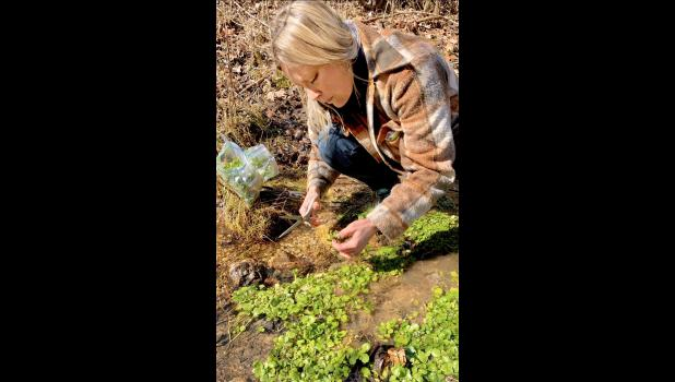 The author collects watercress from a spring on her property (Photo credit: John Q. Hines)
